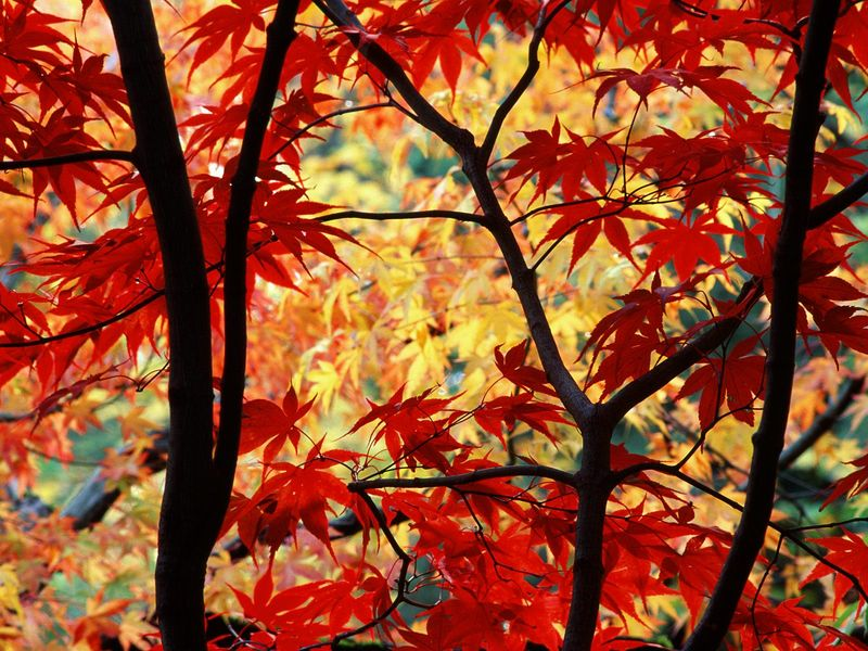 Japanese Maple and Autumn Foliage, Portland, Oregon